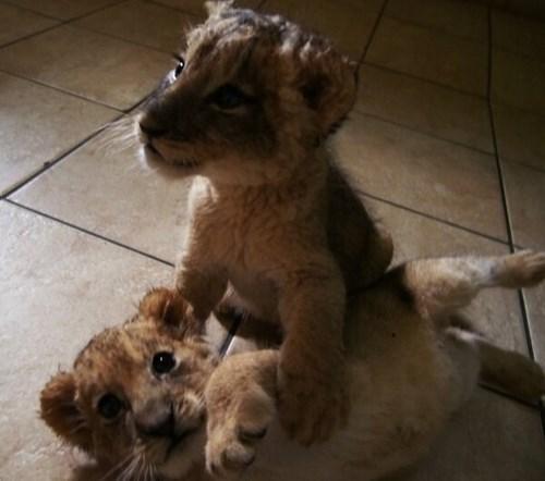 lioncubs