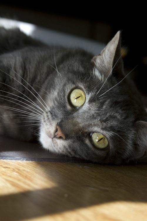 layingcat