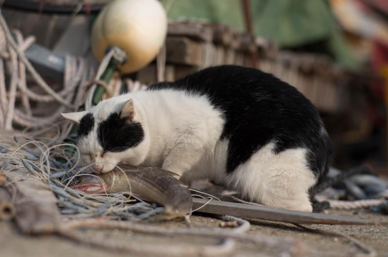 islandcats18