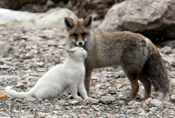 foxcat1