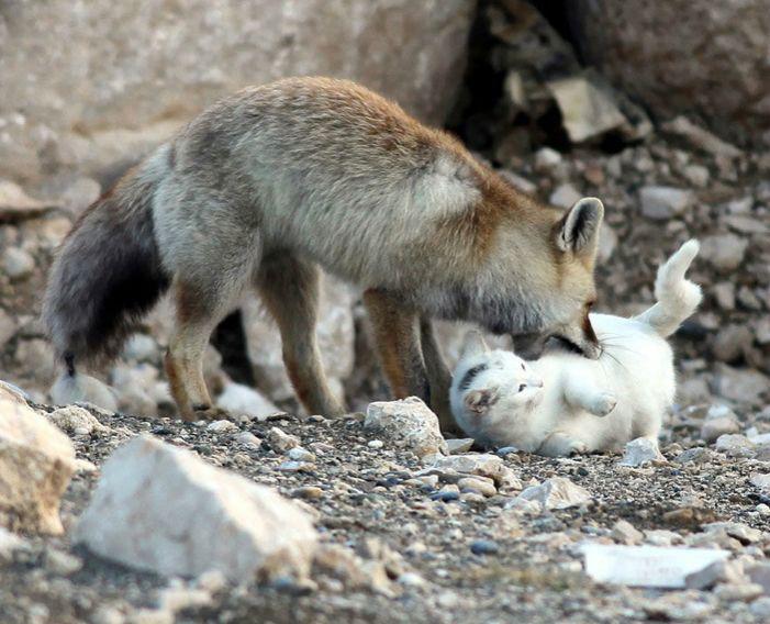 foxcat2
