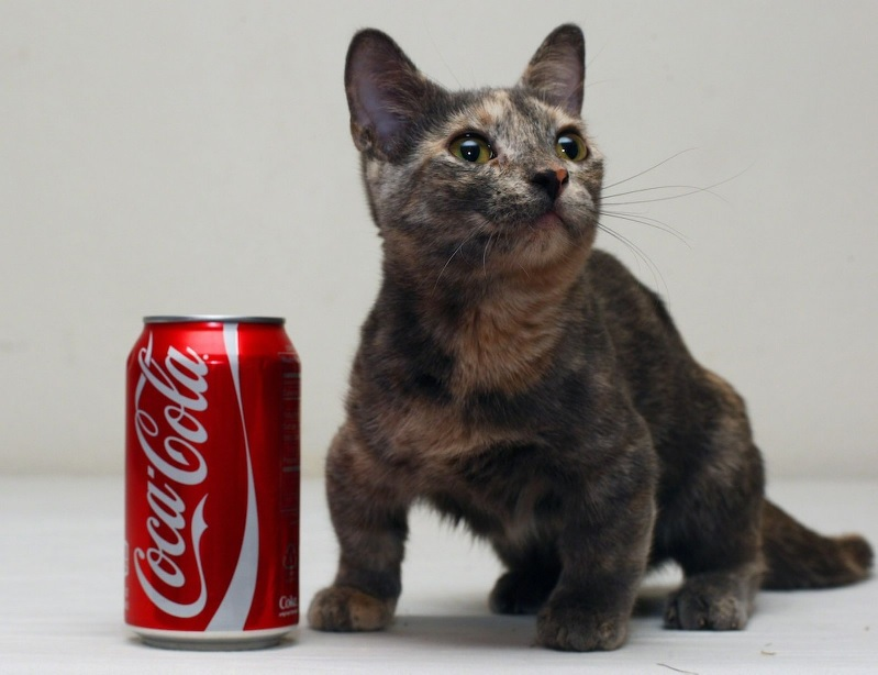 worlds smallest cat ever iz set to be a superstar