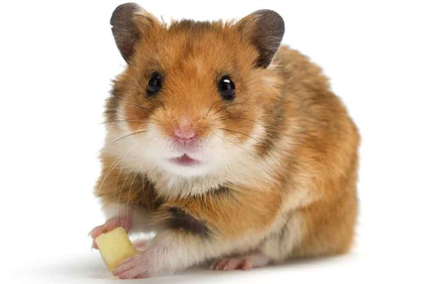 the day i got my hamster My hamster just went missing i usually let my hamsters out for 10 minutes around my room and one that usually escape is smallest one but now the one that missing is bigger one and i already find around my room but still doesn't found him.