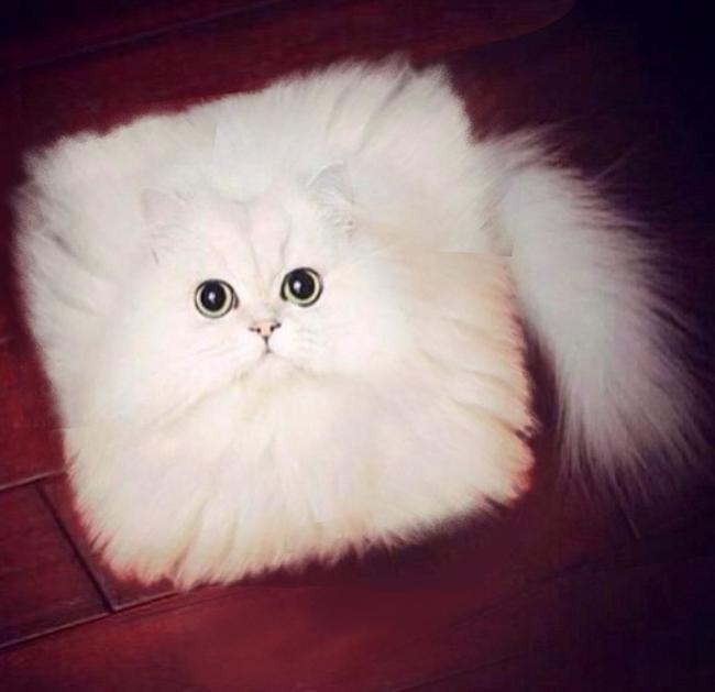 Moon Face Cat