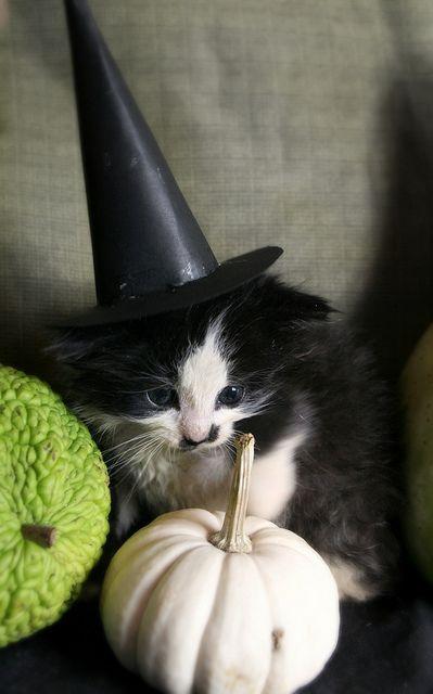 kitten in witch hat