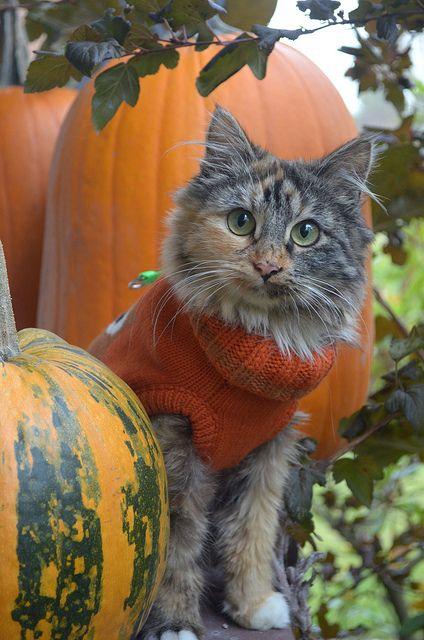 cat in sweater with pumpkin