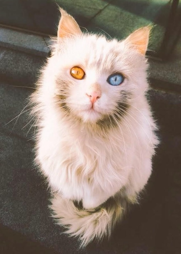 21 Beautiful Cats With Multicolored Eyes