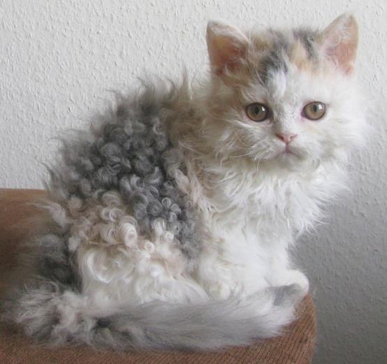 curly haired cat selkirk rex