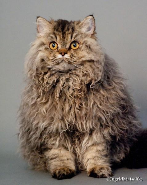 selkirk rex curly haired cat