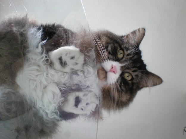 22 glorious photos of cats on glass tables