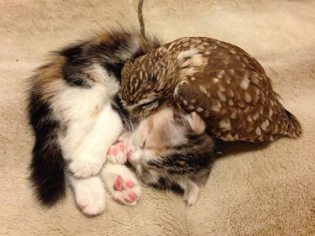 this kitten and baby owl s friendship might be the cutest thing ever