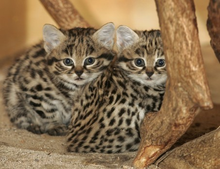 The Black Footed Cat Iz The Smallest African Wild Cat