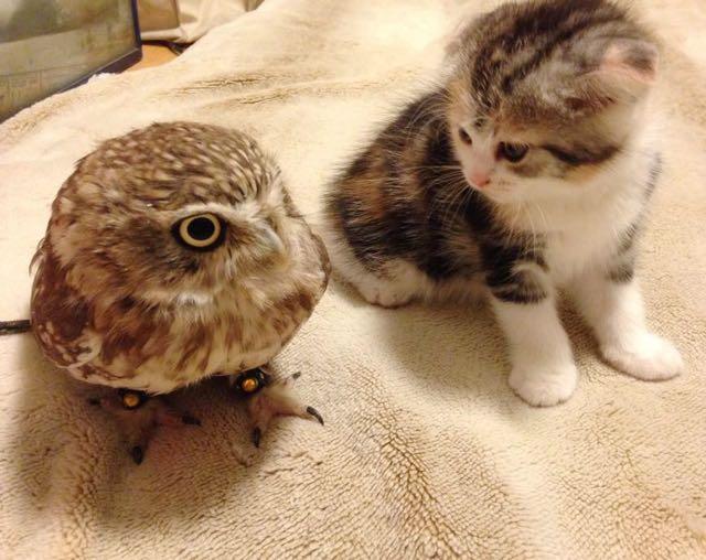 owlcat2