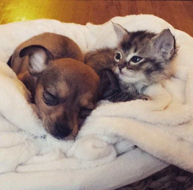 cute puppy and kitten best friends wwwpixsharkcom