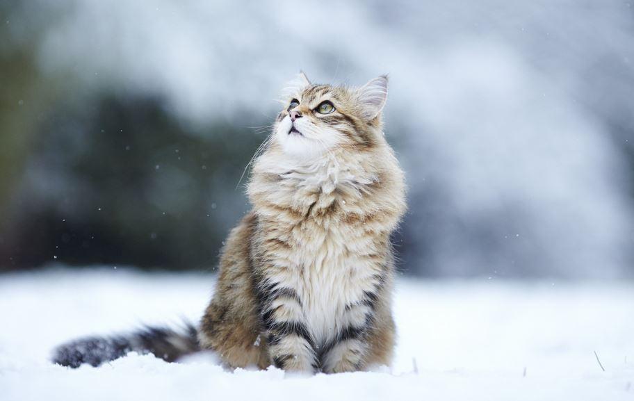 The Norwegian Forest Cat Figures In Fairy