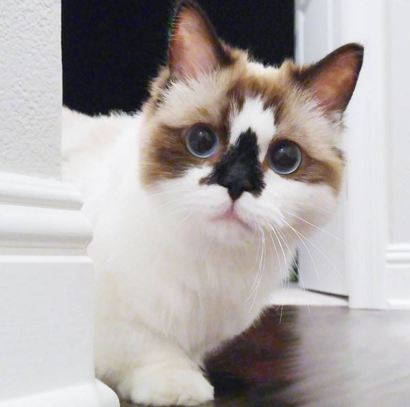 Albert The Munchkin Cat Might Be The Cutest Kitty Ever Gallery - Meet albert the cutest munchkin cat on the internet