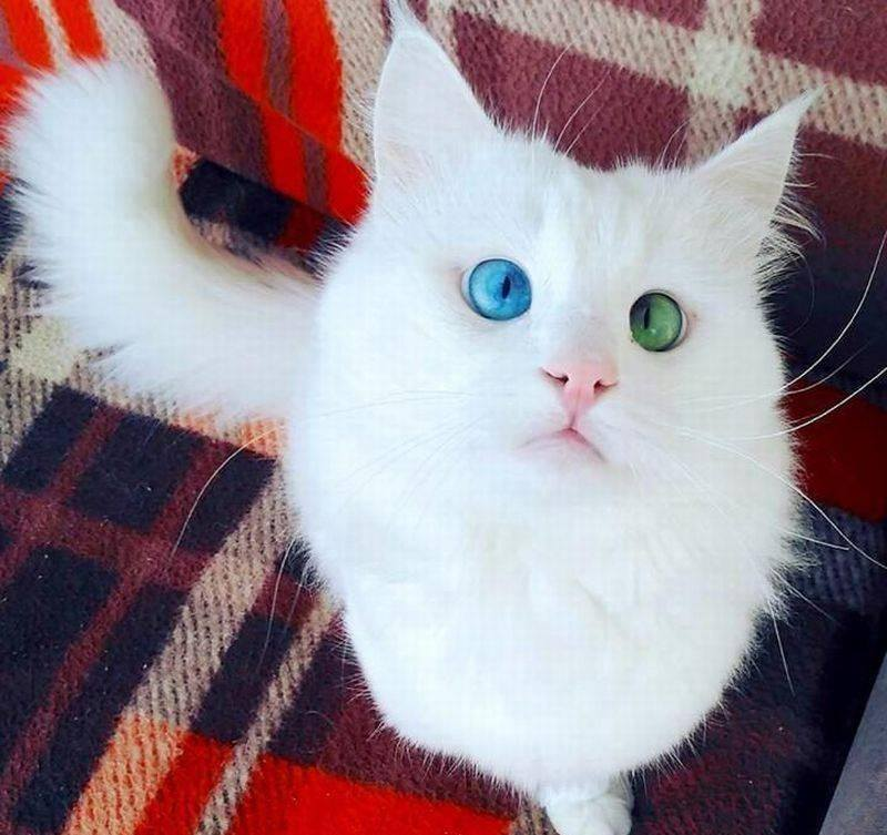 This Beautiful Fluffy Cross-eyed Cat Has The Most
