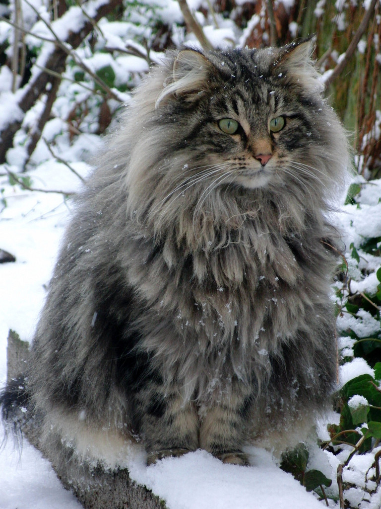 Some Facts About The Norwegian Forest Cat Pet Of Vikings