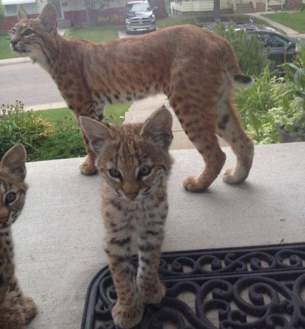 Baby Bobcats Make Adorable Surprise Visit To Calgary Home