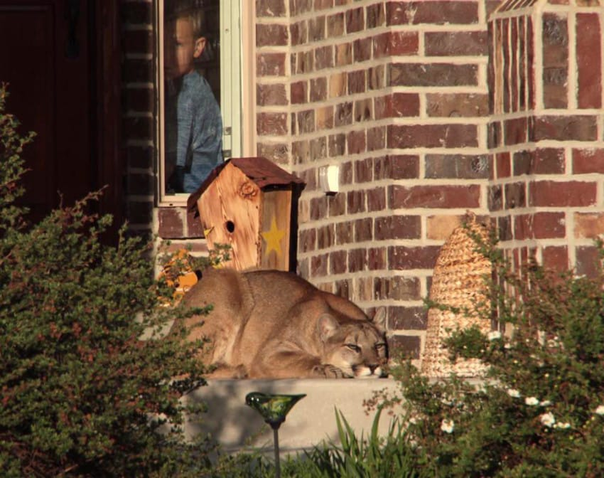 Neighbors Shocked To Discover A Mountain Lion Taking A Cat