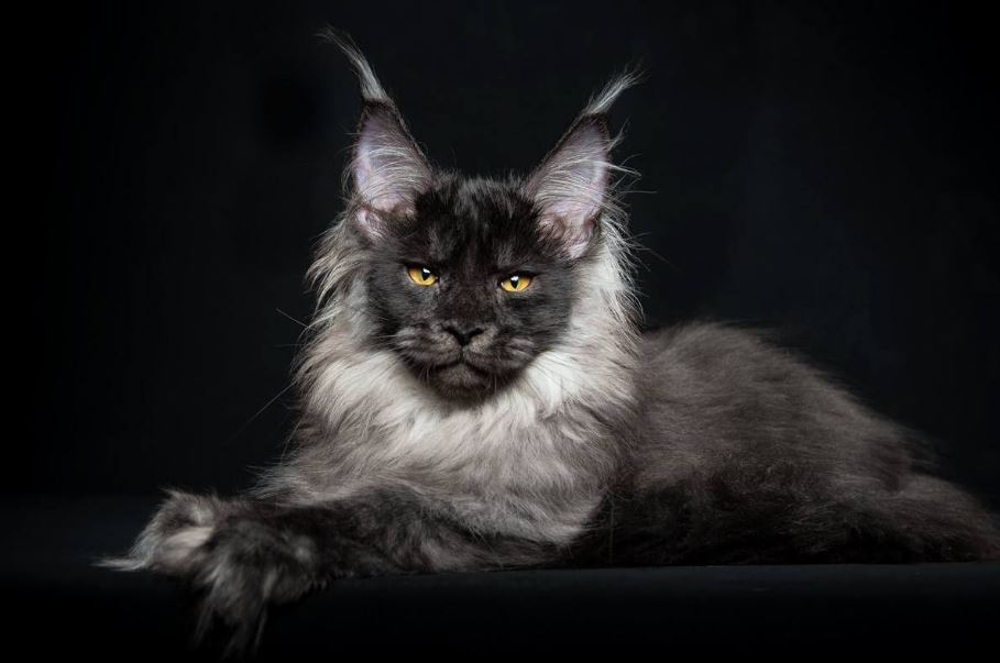 This Man Photographs Maine Coon Cats And Makes Them Look Like