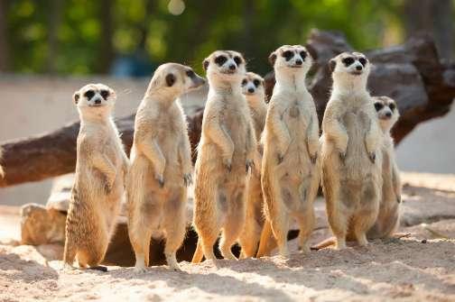 meerkats standing