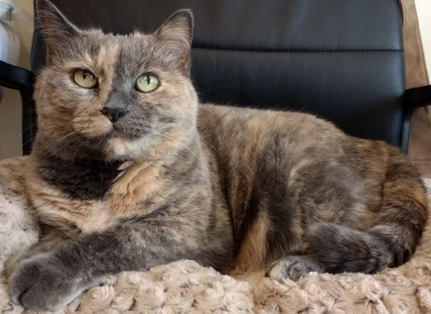 tortie cat posing