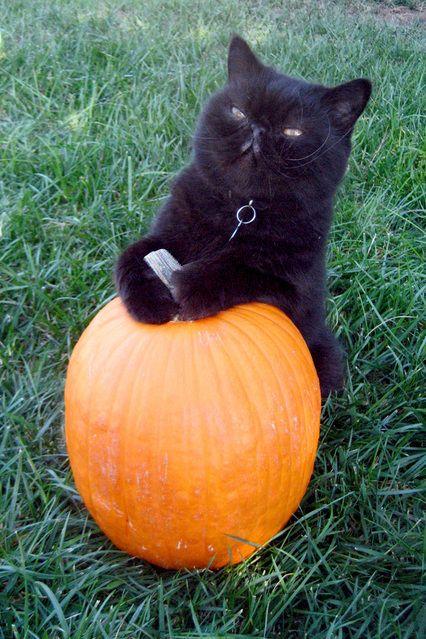 black cat holding pumpkin