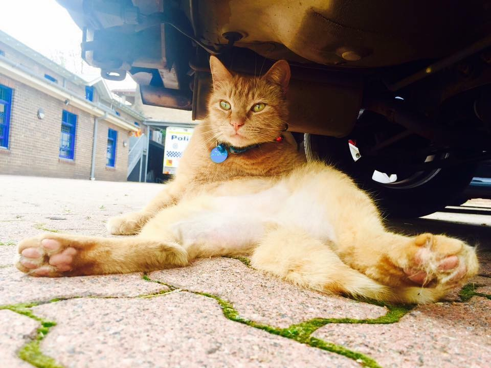 cat cop relaxing