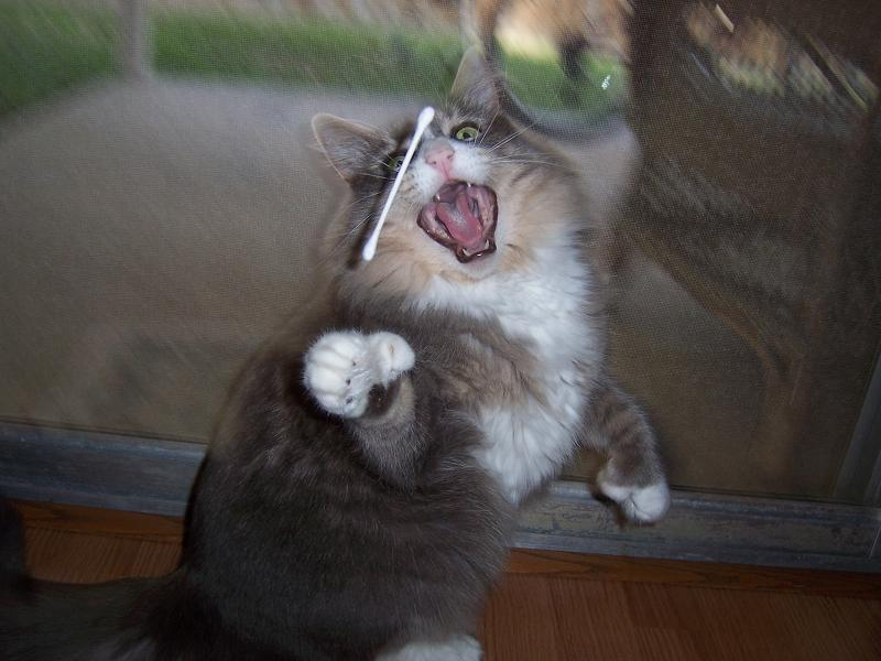 cat playing with q tip 1