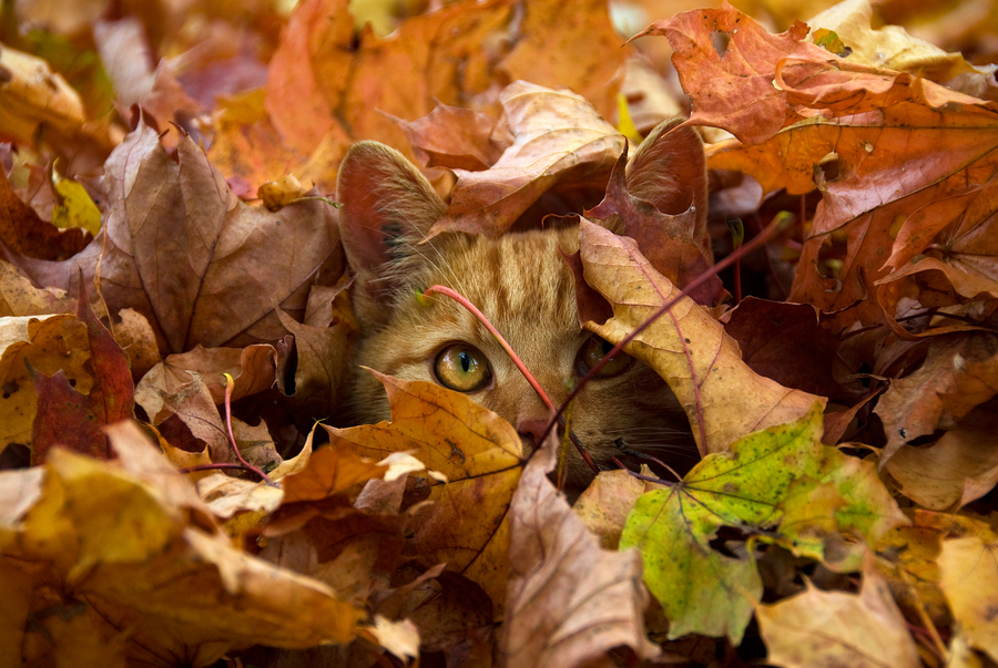 cat playing in leaves