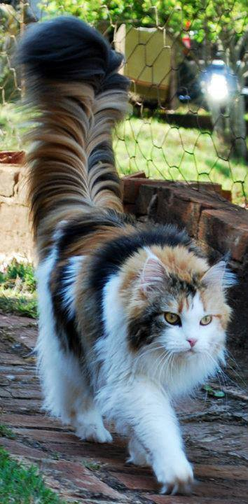 calico with majestic tail