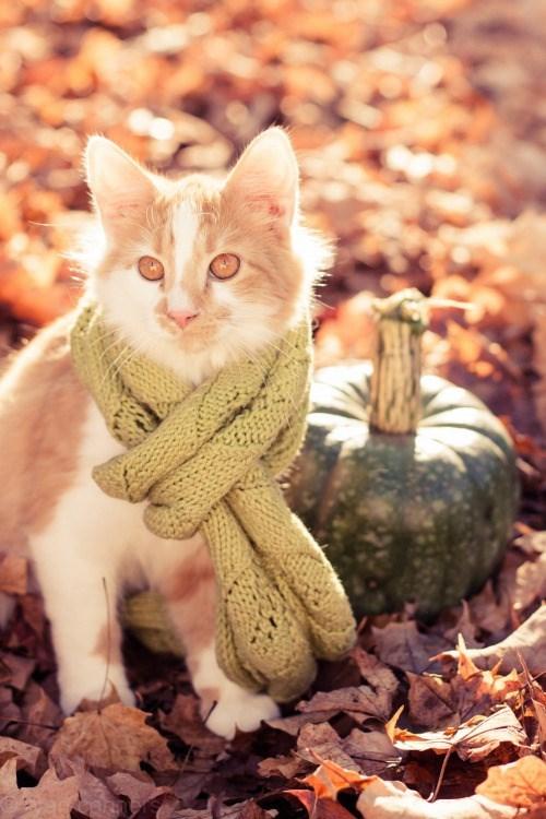 cat in scarf by pumpkin