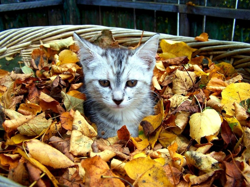 cat in basket of leaves