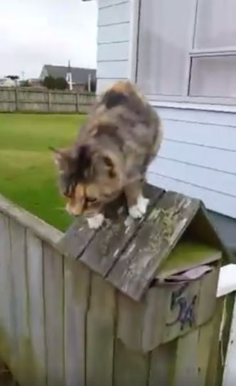 cat jumping after mailman