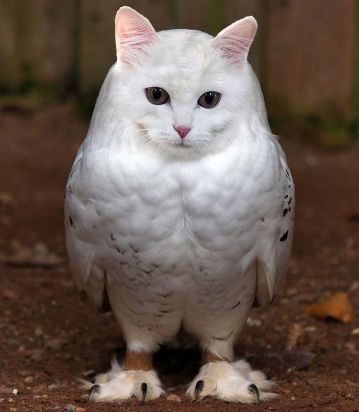 Meet The Meowls The Owl And Cat Hybrid The Internet Has