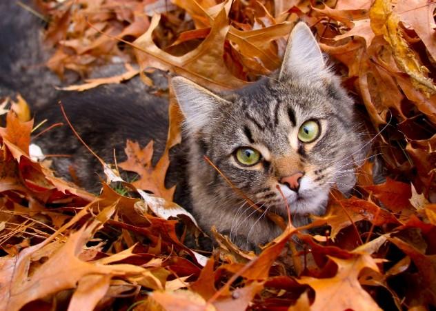 cat lynx autumn foliage - photo #39