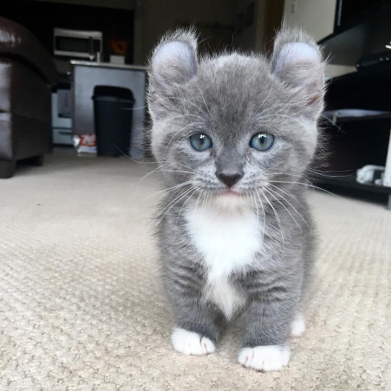 kitten with round ears