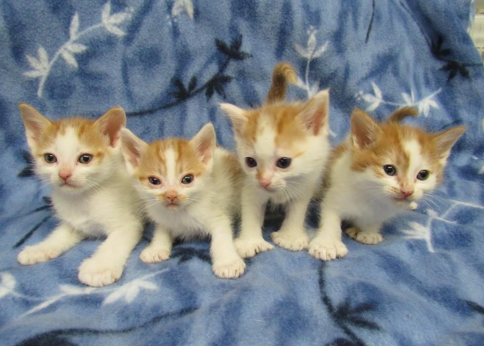 polydactyl kittens
