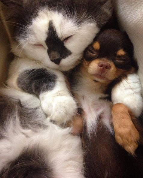 cat and dog cuddling