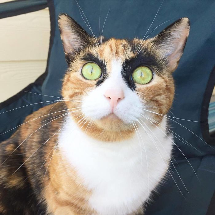 crazy eyebrow cat 6