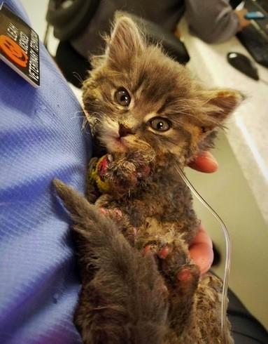 pyro the kitten bandaged