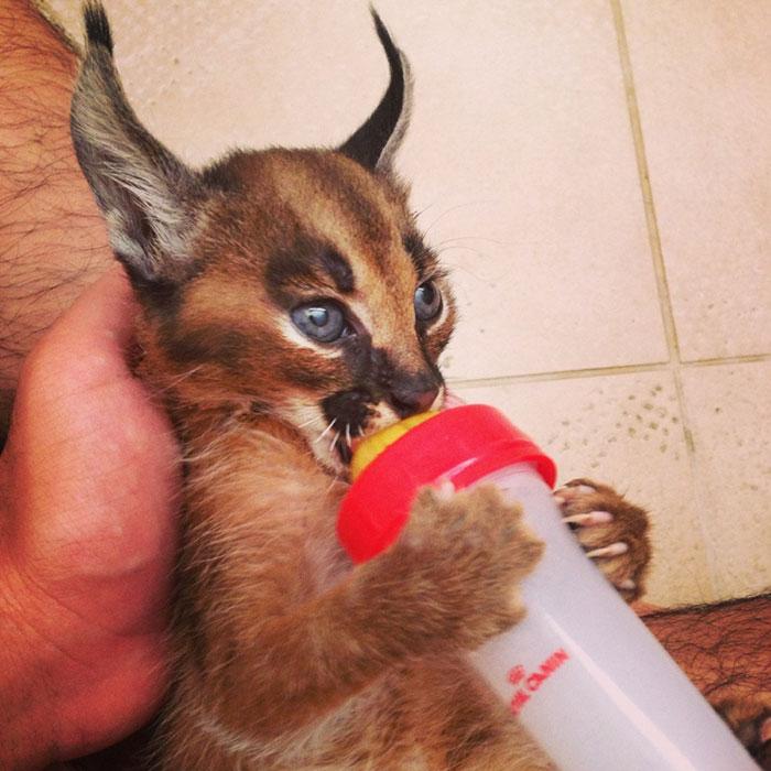 baby caracal 14