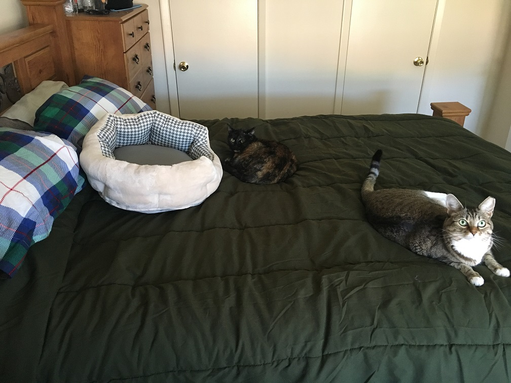 tortie and tabby on human bed