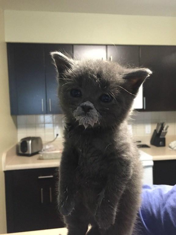 kitten with milk mustache 1