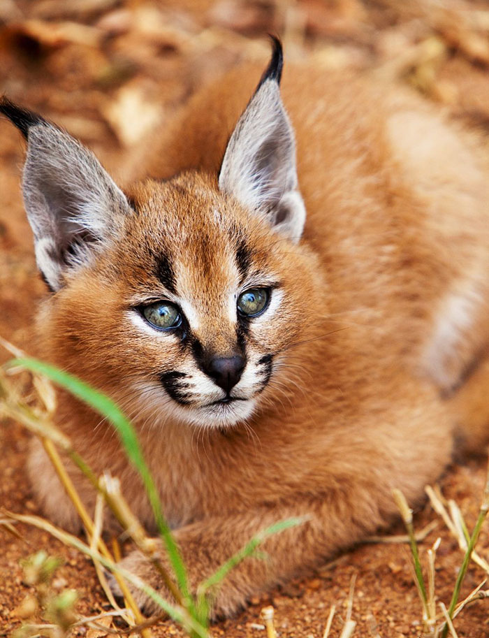 Image result for caracal