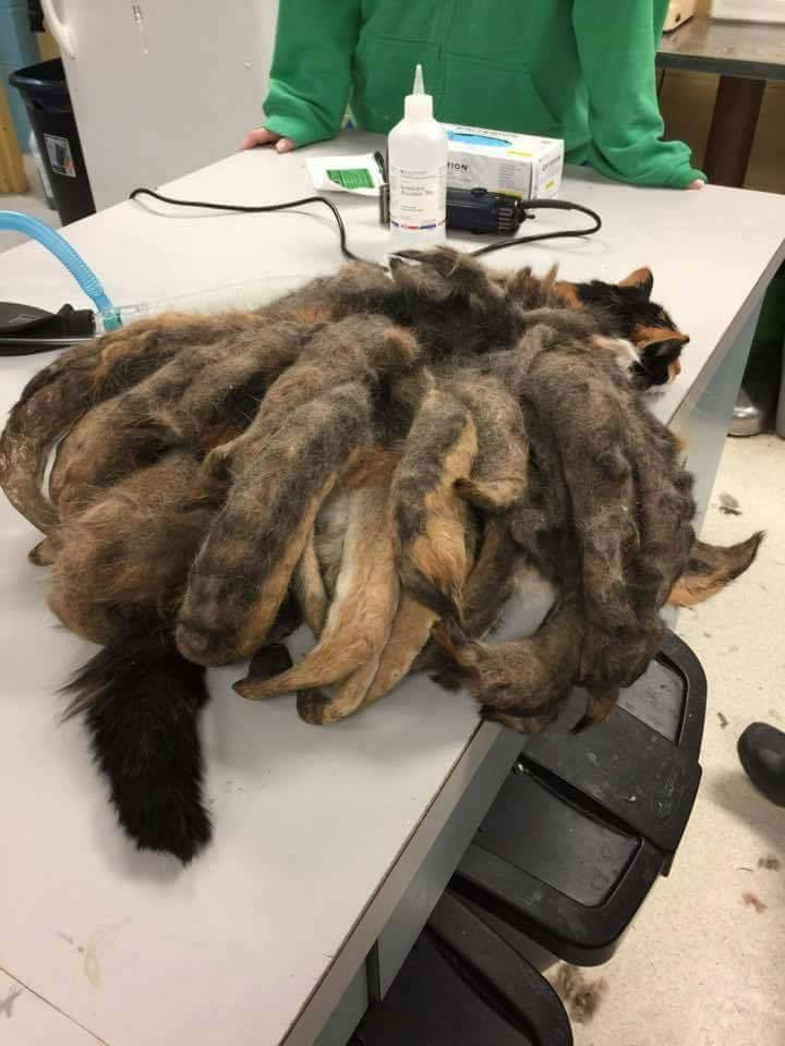 calico with matted fur