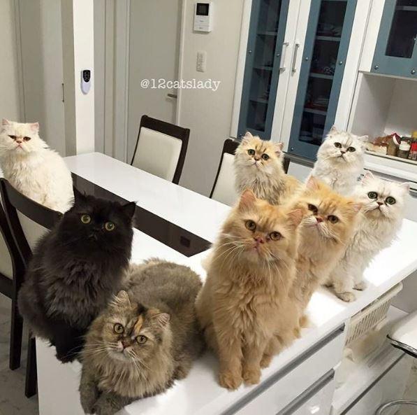 12 persian cats 2