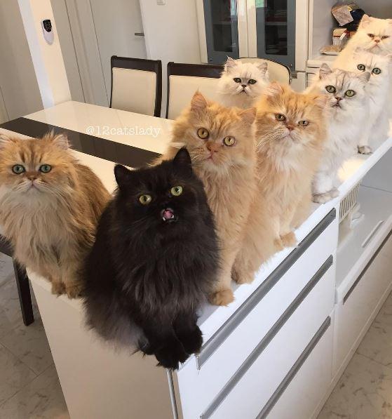 12 persian cats 9