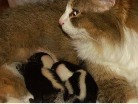 cat mom and skunk babies